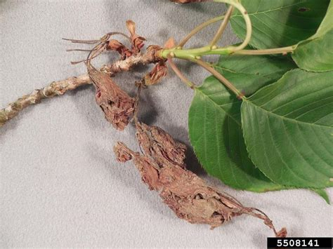 brown rot blossom blight and spur infection (Monilinia