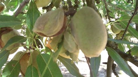 Hull Rot of Almond caused by Monilinia - YouTube