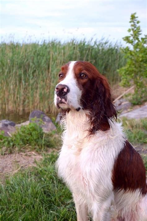 Fairy Hunter Irish Red and White Setter kennel - Posts